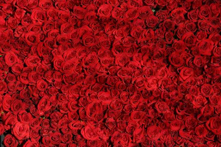 red flowers roses rose